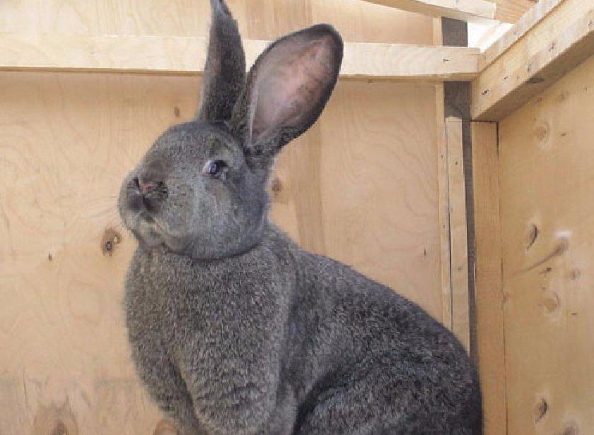 Кролики фландр: описание и фото. кролики-великаны. содержание, разведение кроликов