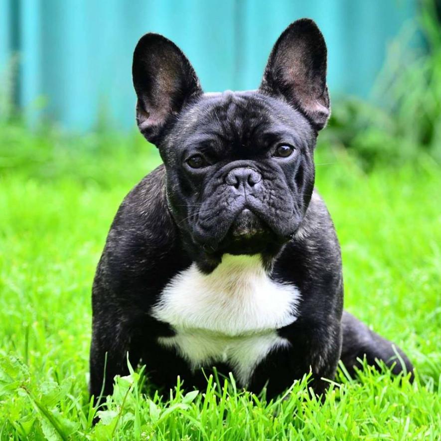 Французский бульдог собака. описание, особенности, уход, содержание и цена породы   живность.ру