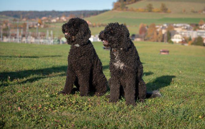 Барбет: редкая, охотничья собака из франции - промысловик.инфо