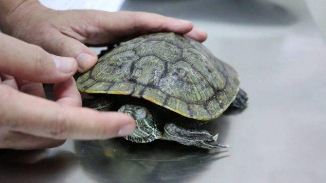 Как спят красноухие черепахи домашние