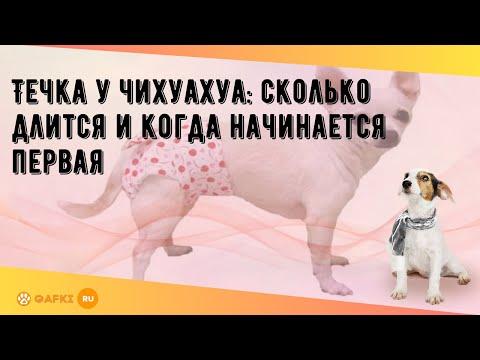 Особенности течки у собак породы чихуахуа: когда начинается, сколько длится