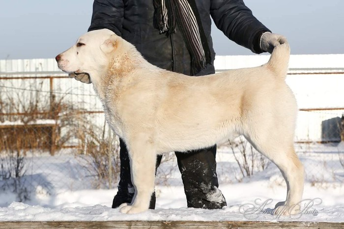 Азиатская овчарка (алабай) - стандарты породы, плюсы и минусы