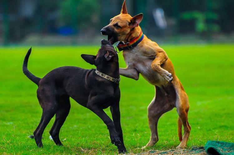 Бойцовские породы собак