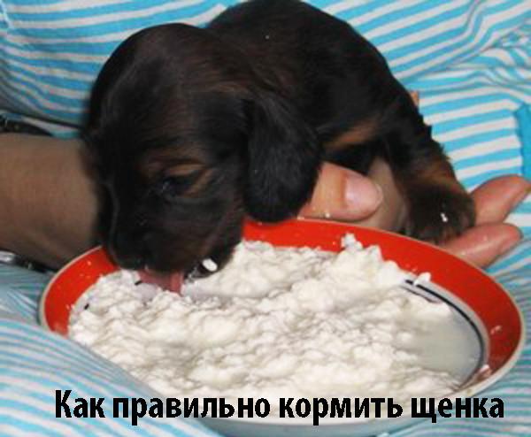 Собаки, особенности кормления собак мелких пород, рекомендации по составлению рациона