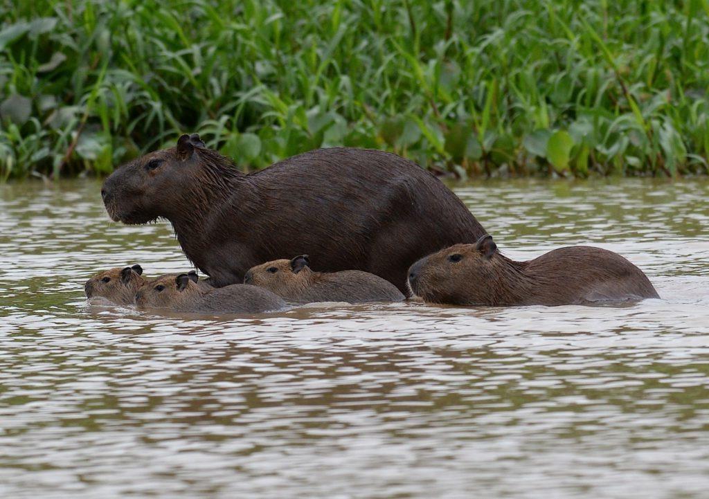 Капибары: фото животного, ареал обитания, описание видов, интересные факты