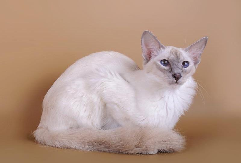 Сибирская кошка: характер, описание породы, отзывы владельцев
