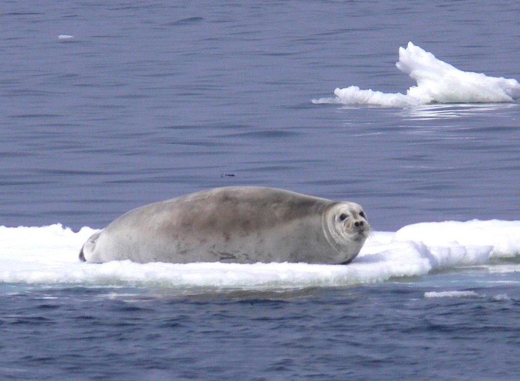 Морской заяц лахтак – фото, видео и описание животного