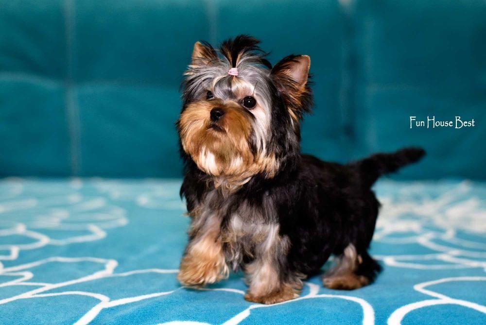 Йоркширский терьер: плюсы и минусы породы, внешний вид, характер собак и особенности ухода + отзывы владельцев о питомцах