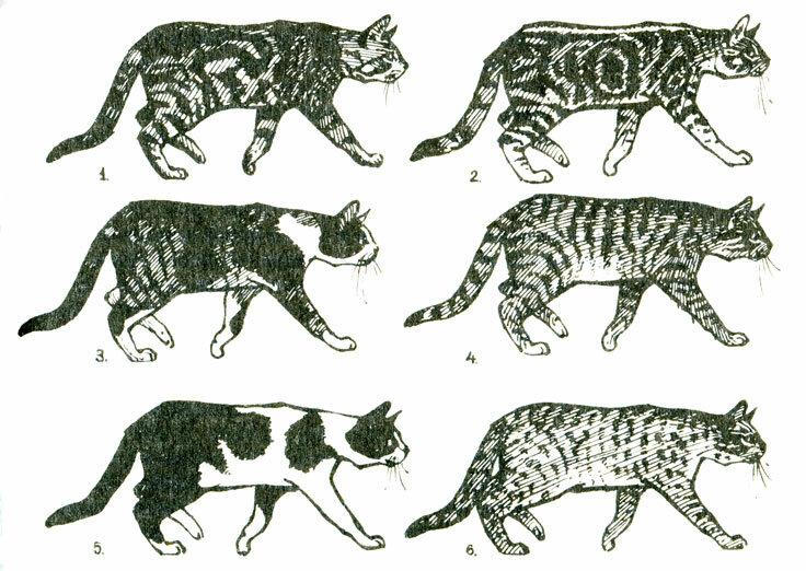 Окрас сибирских кошек (30 фото): черные и белые, дымчатые и золотые коты, полосатые и черепаховые котята