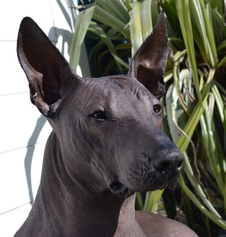 Ксолоитцкуинтли порода собак особенности