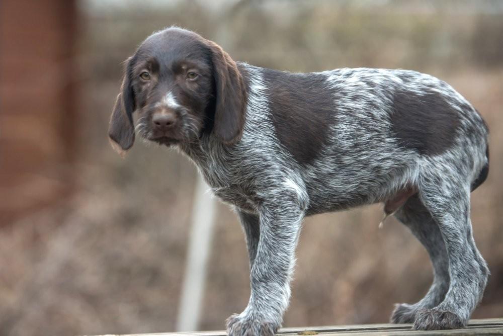 ᐉ как содержать дратхаара: описание породы, правила ухода, фото собак - zoovet24.ru