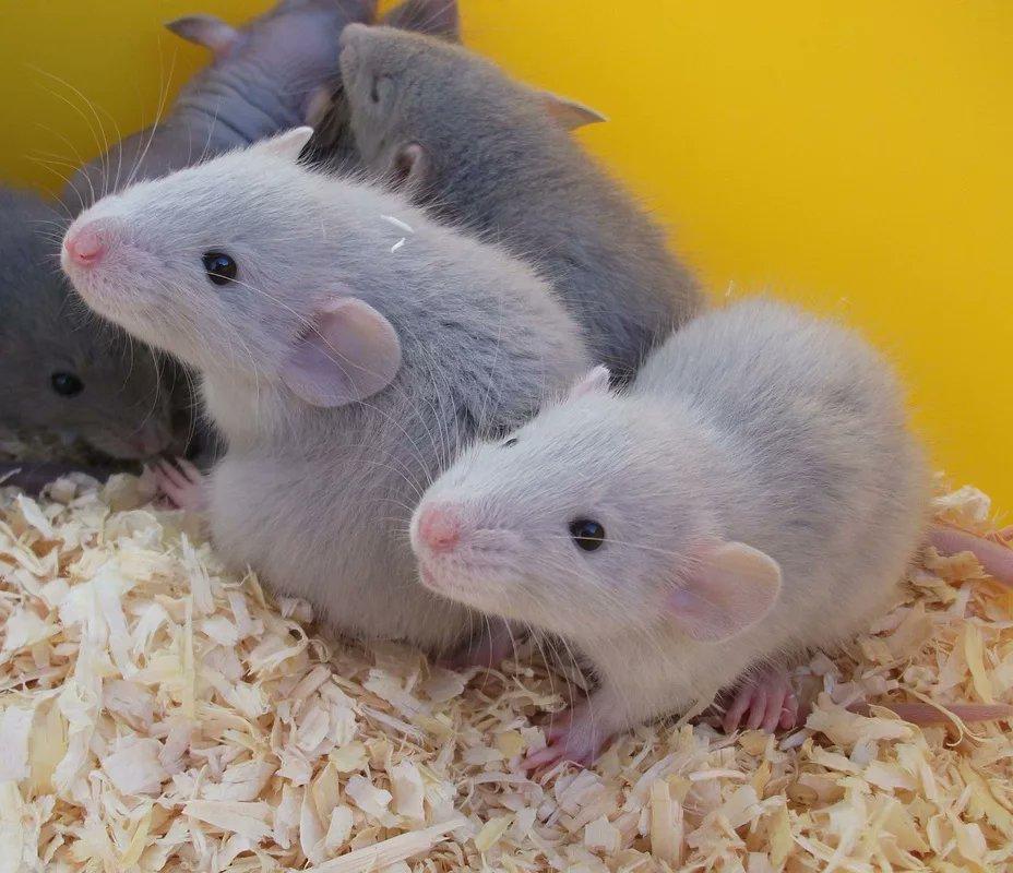 Мыши декоративные: породы, содержание и уход