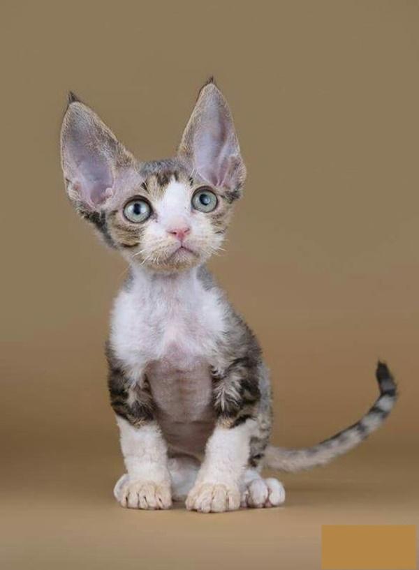 Гипоаллергенные кошки: породы, как правильно выбрать