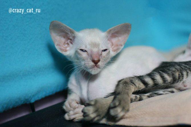 Ориентальная кошка. история, факты, характер, фото