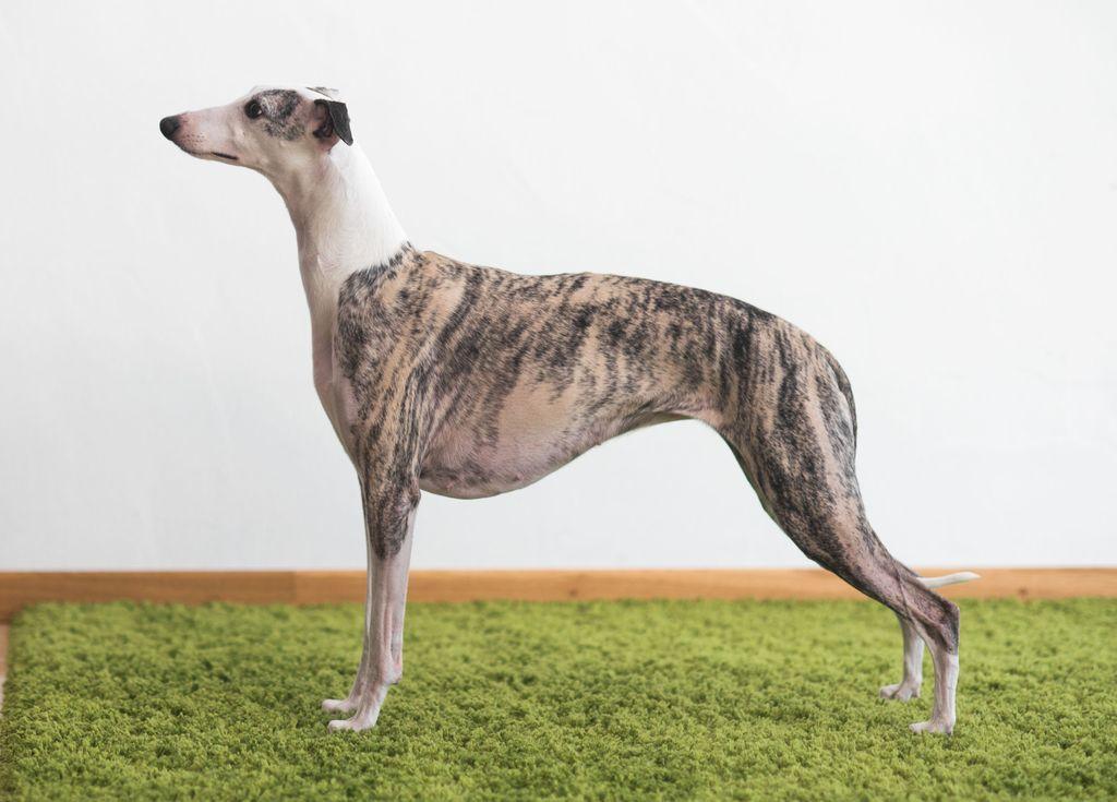 Уиппет - все о собаке, фото, описание породы, характер, уход, здоровье, отзывы владельцев