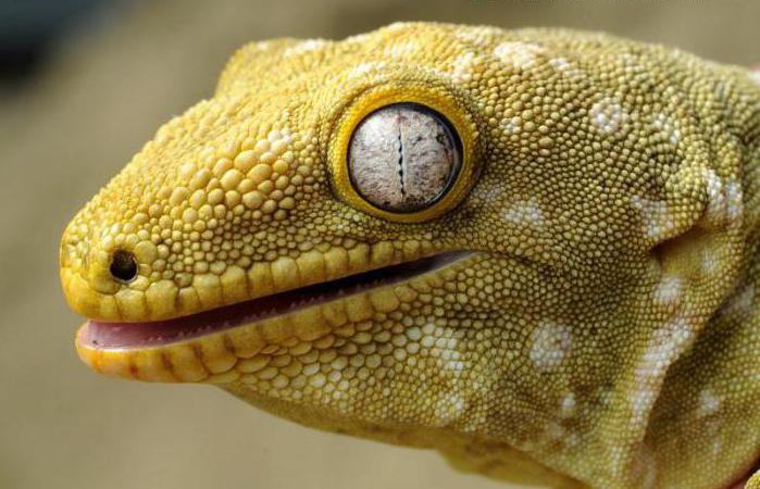 Геккон-бананоед: содержание реснитчатой банановой ящерицы