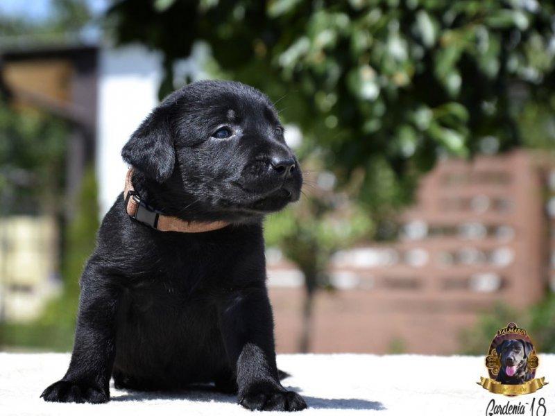 Лабрадор-ретривер (85 фото): описание щенков и взрослых собак данной породы. как они выглядят? их характер. отзывы владельцев