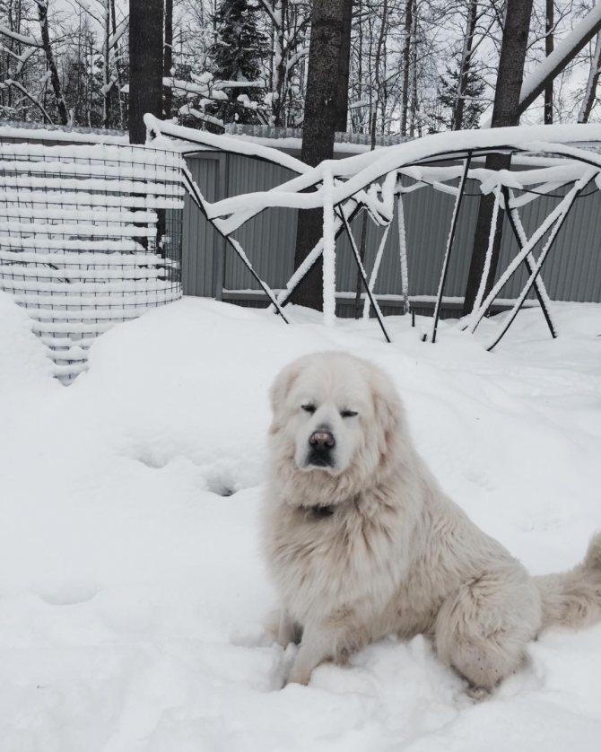 Характеристика собак породы словацкий чувач с отзывами и фото