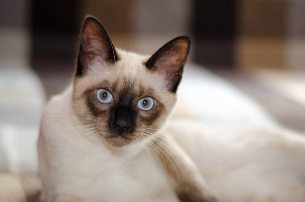 Сиамские кошки (70 фото): как выглядят коты и котята сиамской породы? описание видов. особенности окраса. отзывы владельцев