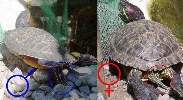 Красноухая черепаха: фото, уход и содержание, кормление