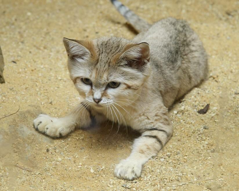 Барханный кот, или арабская песчаная кошка - описание, характеристики и интересные факты
