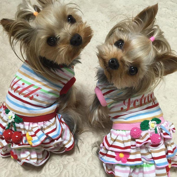 Составляем гардероб для йорка: одежда для разных сезонов, приучение собаки к ней