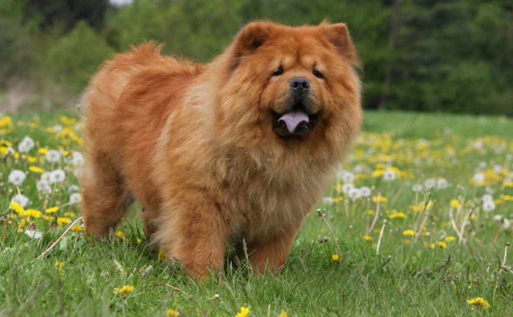 Чау-чау: фото и описание собаки с фиолетовым языком