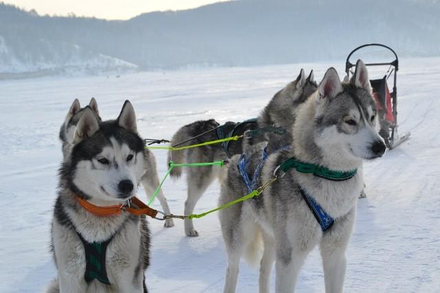 Ездовые собаки: описание и фото 7 самых популярных представителей