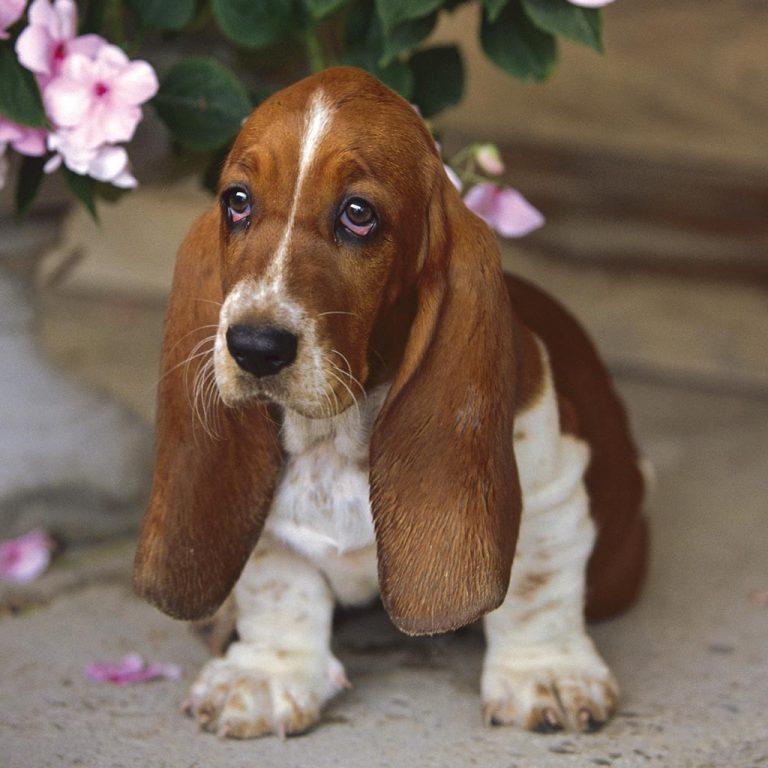 Обзор красивых пород собак с большими длиннющими ушами и грустными глазами