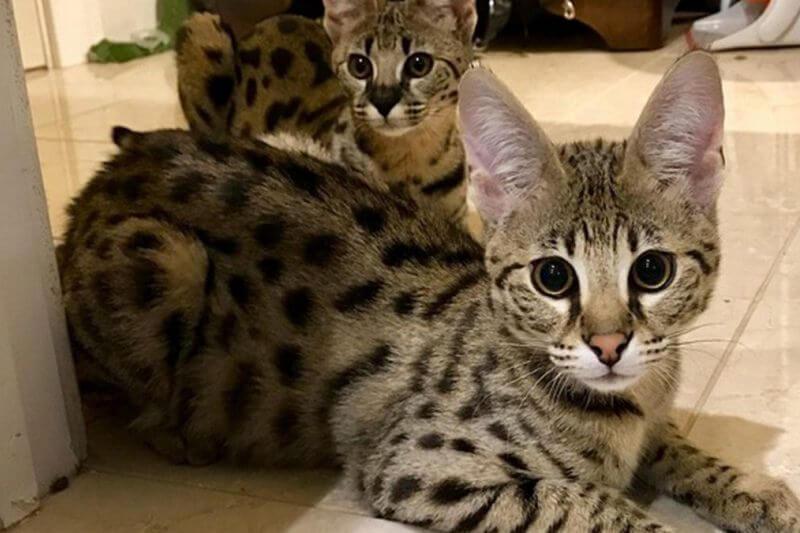 Ашера – обзор самой скандальной породы кошек (с фото и видео)