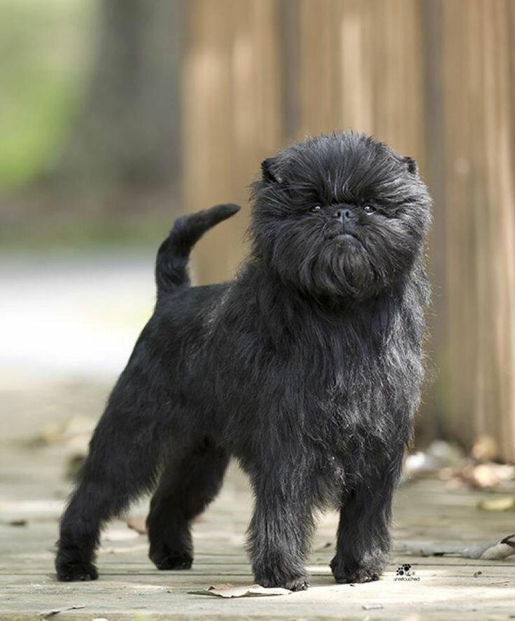 Аффенпинчер (обезьяний пинчер): фото и описание породы собак аффенпинчер, особенности характера и история