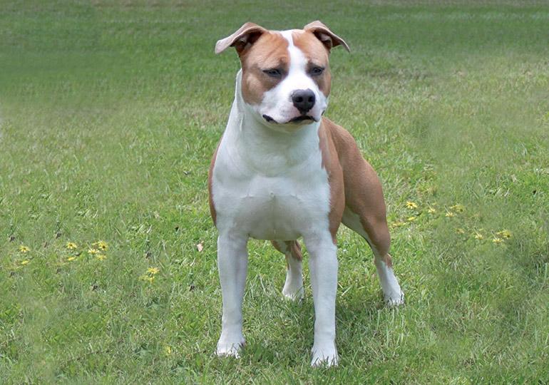 Американский стаффордширский терьер собака. описание, особенности, уход и цена породы | sobakagav.ru