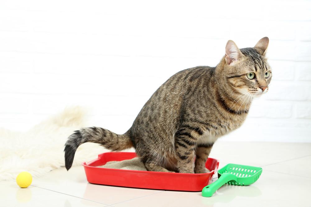 7 самых вероятных причин, почему котенок не ходит в лоток