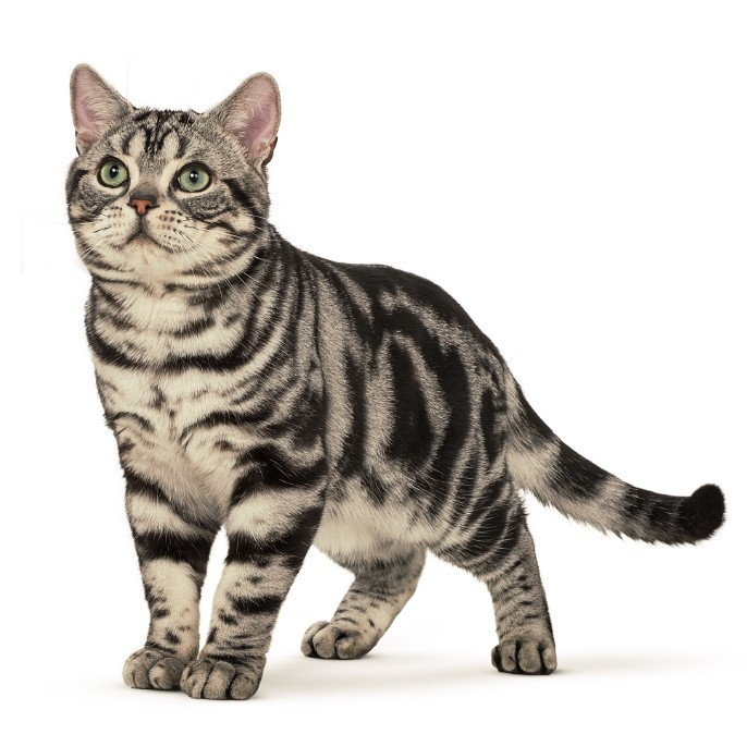 Американский керл ???? фото, описание, характер, факты, плюсы, минусы кошки ✔