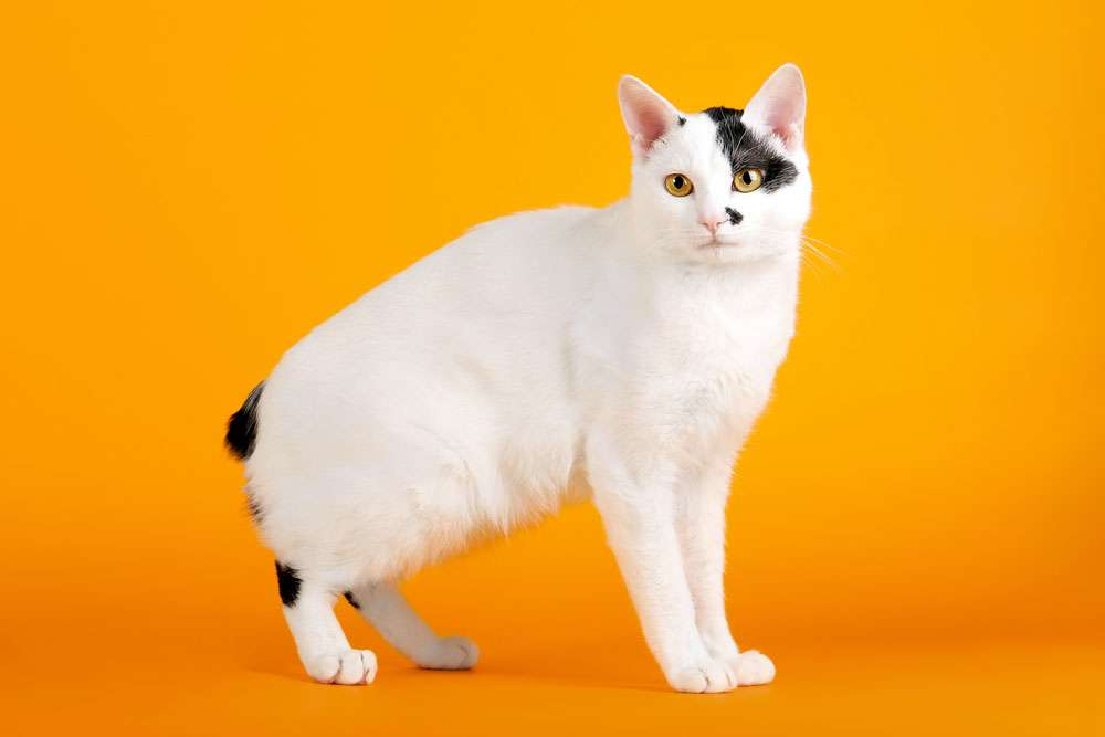 Японский бобтейл ???? фото, описание, характер, факты, плюсы, минусы кошки ✔