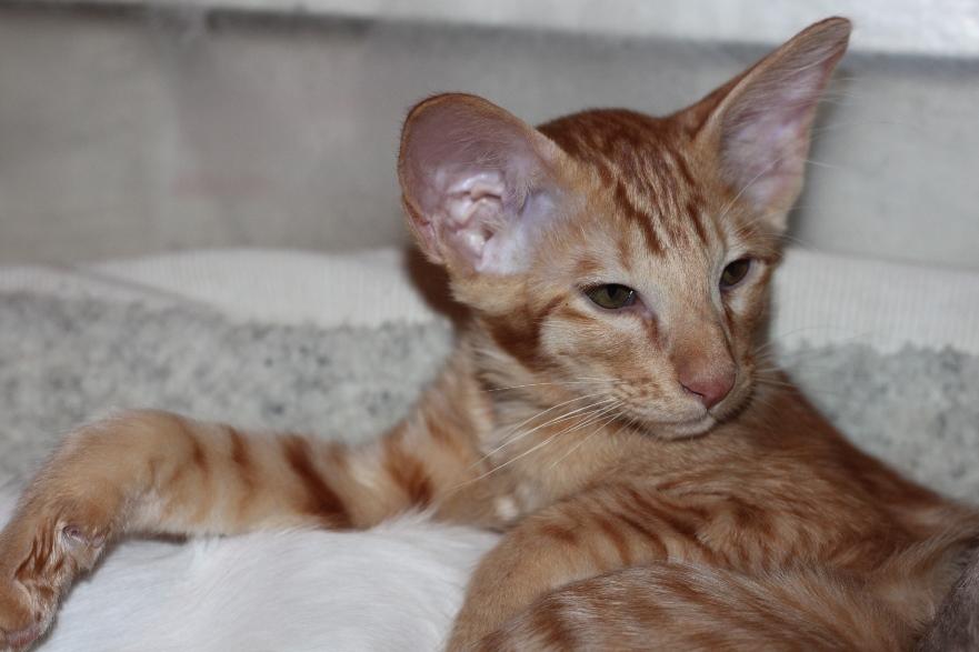 Яванез или яванская кошка