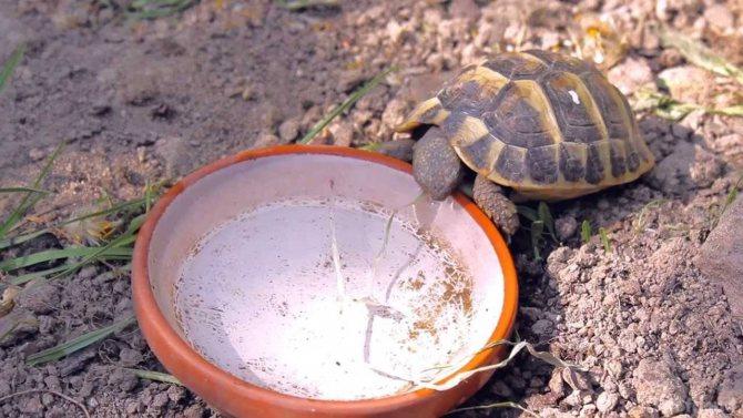 Что едят сухопутные черепахи в домашних условиях и дикой природе