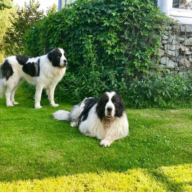 Пиренейский мастиф: грозный сторож и добрый друг