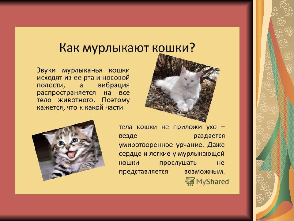 Почему коты и кошки мурлыкают?