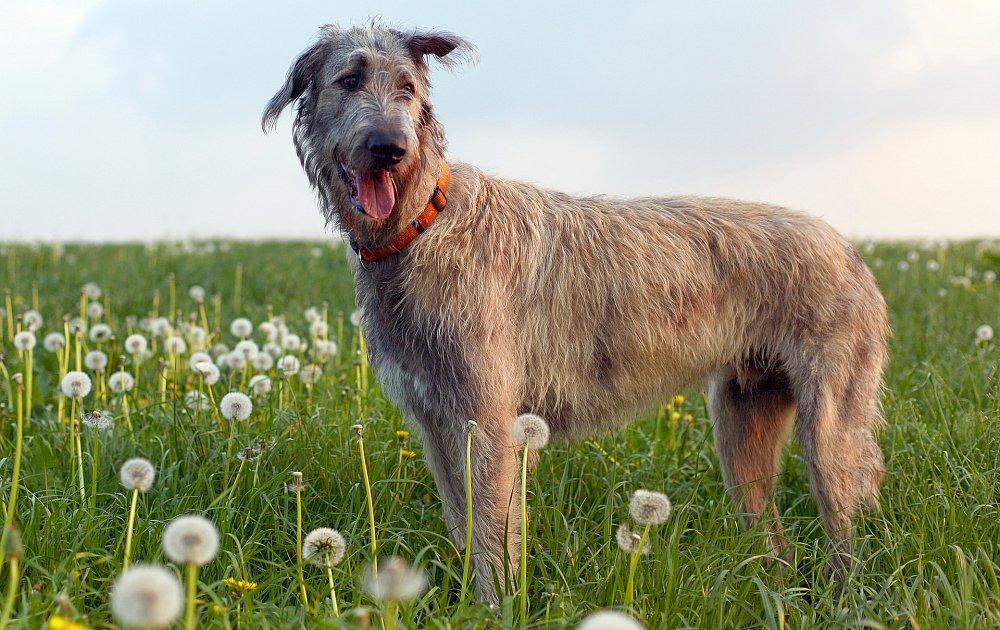 Ирландский волкодав irish wolfhound . стандарт породы. содержание, кормление, уход за шестью, зубами, когтями, подготовка к выставке, вязка. фото.