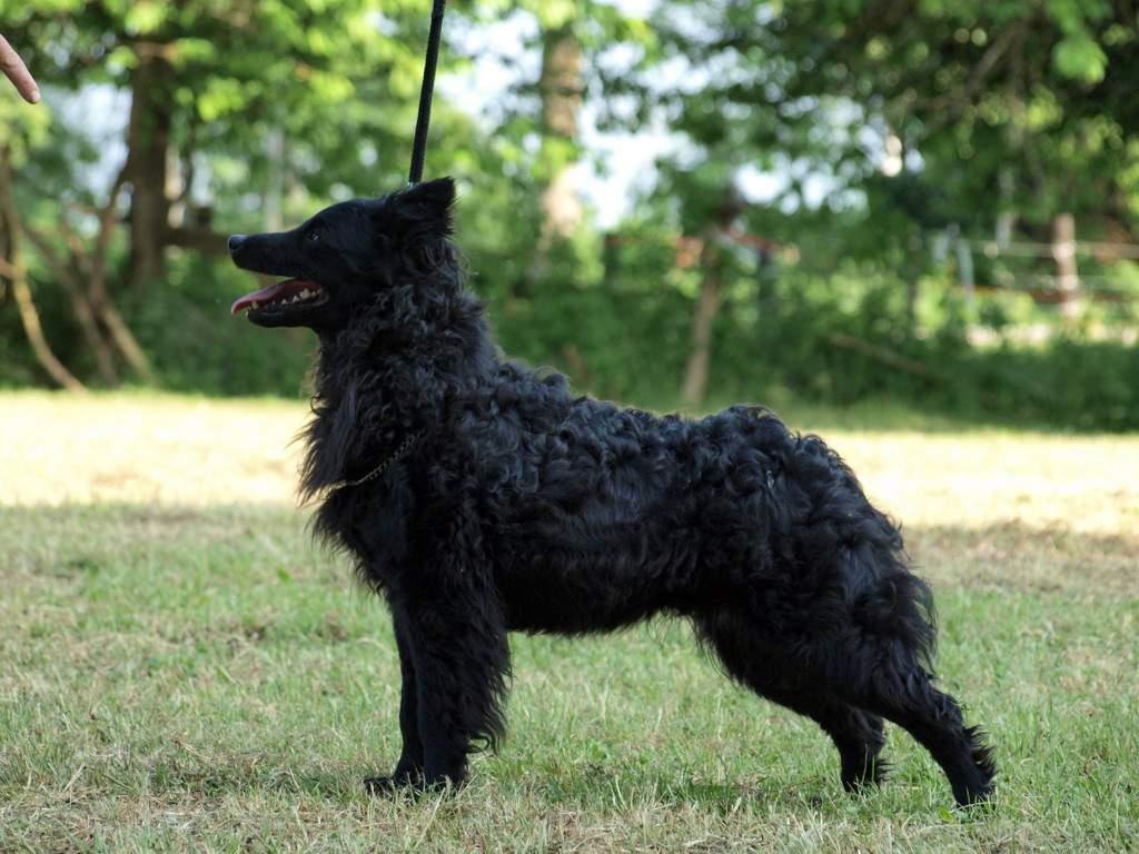 Австралийская овчарка (аусси): все о собаке, фото, описание породы, характер, цена
