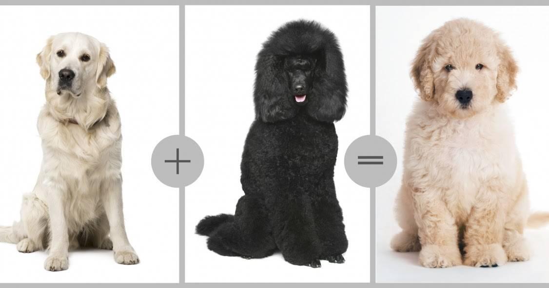 Лабрадор-ретривер - порода собак - информация и особенностях   хиллс