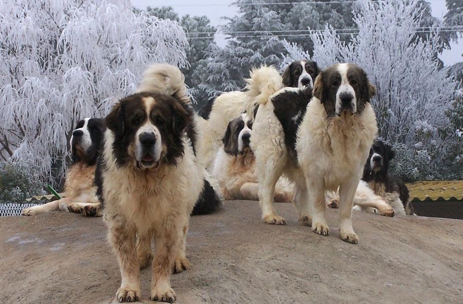 Помесь чихуахуа и той-терьера: фото как выглядит смесь питомца на фото, характер питомца, а также как правильно выбрать щенка – про собак от а до я на glamour-dog.ru