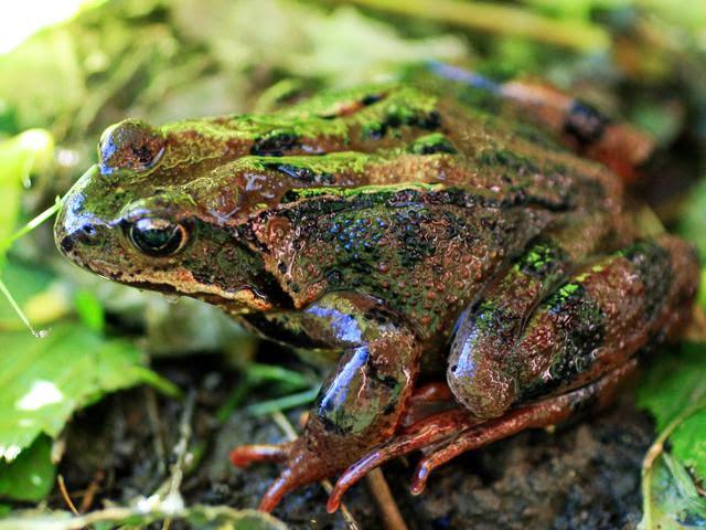Жаба гостроморда, або жаба болотяна | світ тварин і рослин