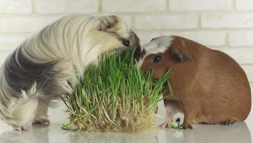 ᐉ можно ли давать морским свинкам редиску (плод, листья, ботву) - zoopalitra-spb.ru