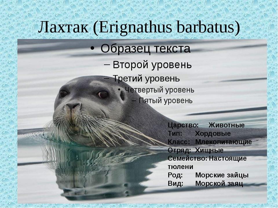 Антур (островной тюлень): описание, образ жизни, поведение