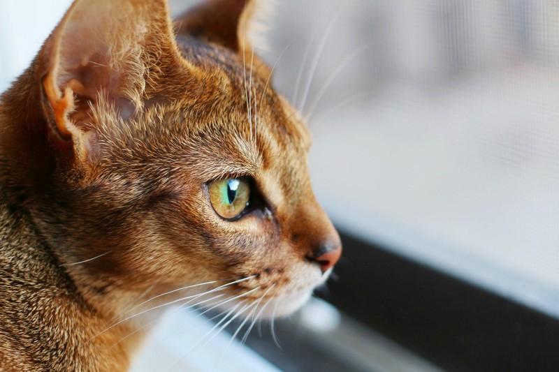 Самые умные породы кошек в мире: названия с описаниями, фото, видео