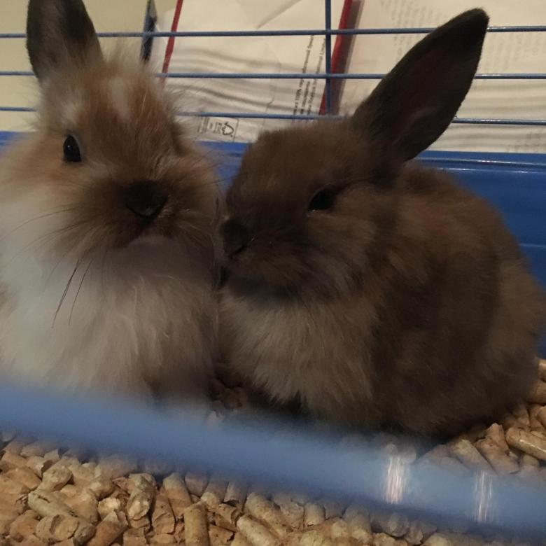 Декоративные карликовые кролики: описания пород, цены, видео