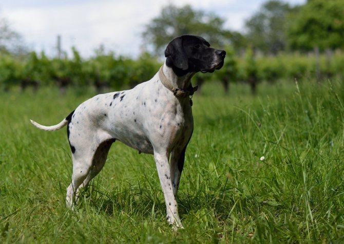 Английский пойнтер – охотничья порода собак английский пойнтер – охотничья порода собак