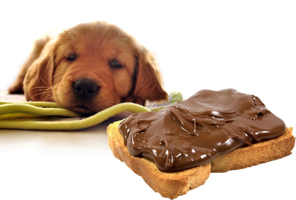 Почему собакам нельзя шоколад? опасность и смерть в шоколаде